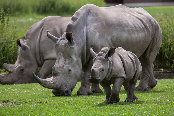 Southern white rhinoceros (Ceratotherium simum simum). Southern white rhinoceros (Ceratotherium simum simum). Female rhino with its newborn baby. Wildlife animal. rhinoceros stock pictures, royalty-free photos & images
