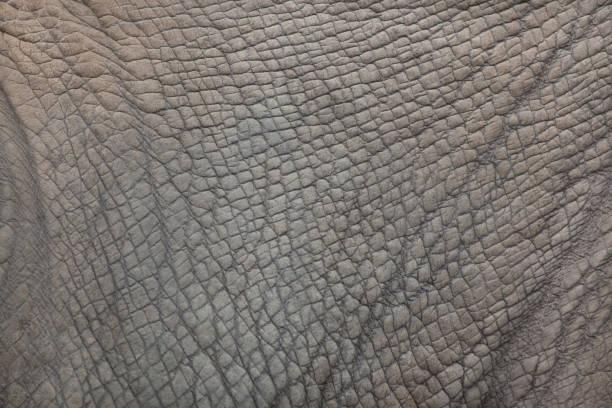 rhinocéros blanc du sud (Ceratotherium simum simum). - Photo