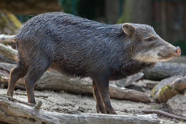 southern white-lipped peccary (tayassu pecari albirostris) - javelina stock pictures, royalty-free photos & images