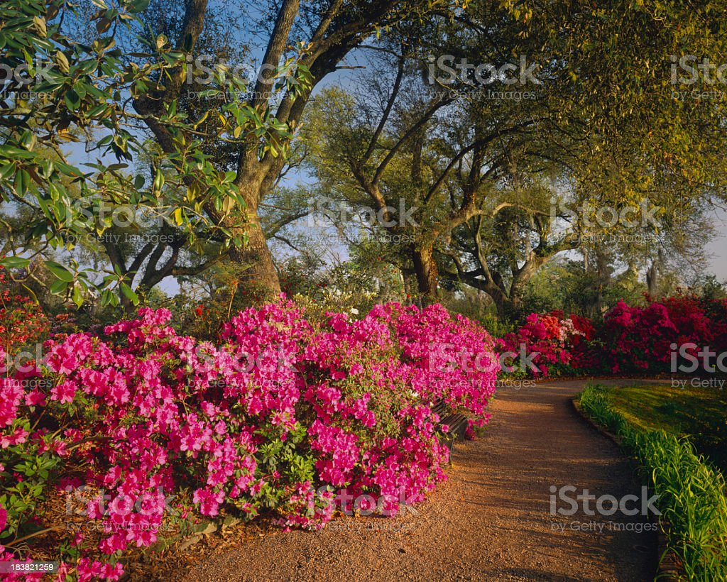 Southern Woodland Garden Stock Photo & More Pictures of Azalea | iStock
