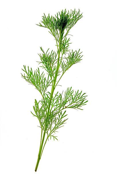Southernwood (Artemisia abrotanum) – Foto