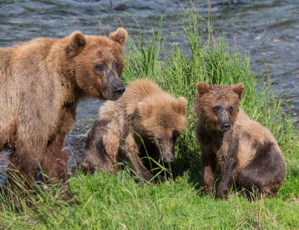 Sow and her Cubs – Foto