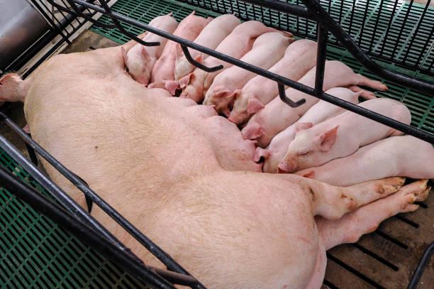 sow and piglets in modern domestic housing farm - desperdício alimentar imagens e fotografias de stock