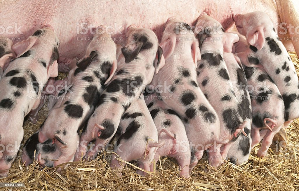 Sow and Piglets stock photo