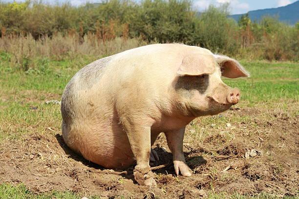 sow near the farm full length stock photo