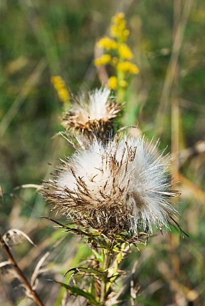 Sow Thistle Seed Head [ Sonchus oleraceus ] stok fotoğrafı