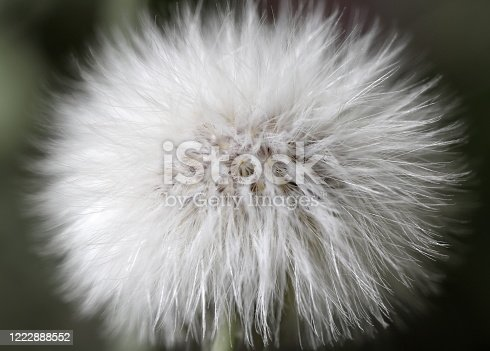 istock Sow Thistle (Sonchus sp.) Seed Puff 1222888552
