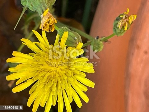 Sow thistle yellow flower
