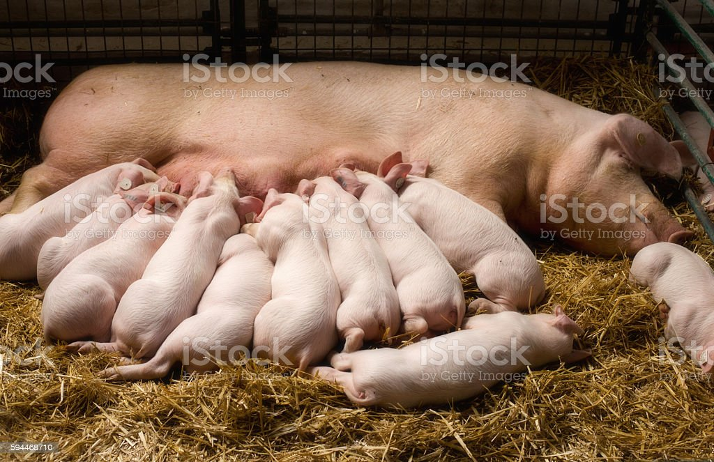 Sow with piglets nursing stock photo