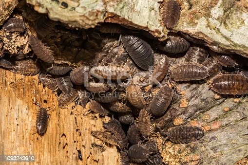 Woodlice gathering on a tree in New England.