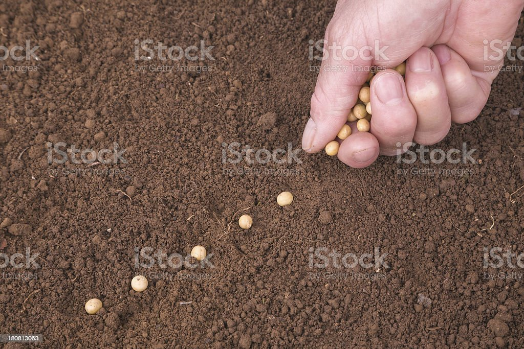 sowing bean stock photo