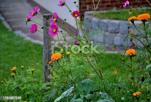 apple, tree, gray, retaining, wall, aztec, mexican, marigold, erecta, tagetes, anethum, graveolens, bipinnatus, cosmos, garden, sowing, annual, managed, bloom, october, delicate, flower, attract, bees, butterflies, insect, showing, thumbs, clenched, dill, inflorescence, flowerbed, pink, yellow, mustard, beekeeping, hive, perennial, purple, green, poppy, violet, colours, blur, white, sinapis, alba, papaver, rhoeas, red
