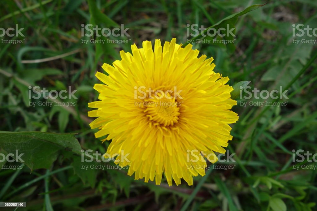 Sow-thistle close-up royalty-free stock photo
