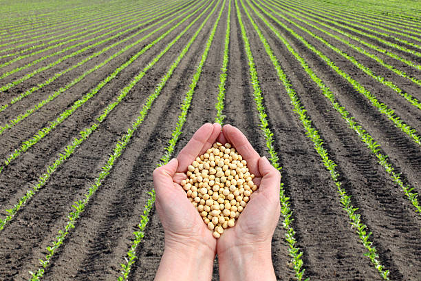 Soy bean concept, hands with soy bean crop and field stock photo