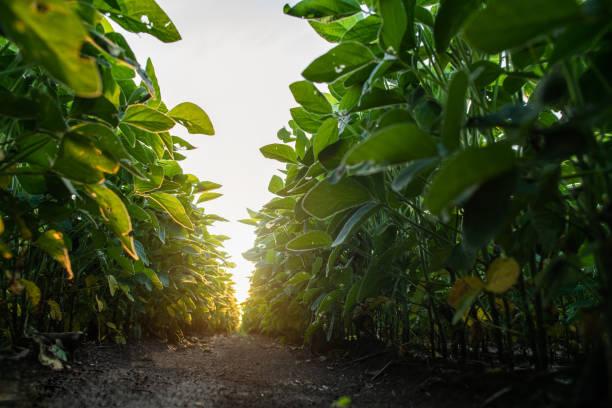 Sojabohnenfelder in der Sommersaison bei Sonnenuntergang. – Foto