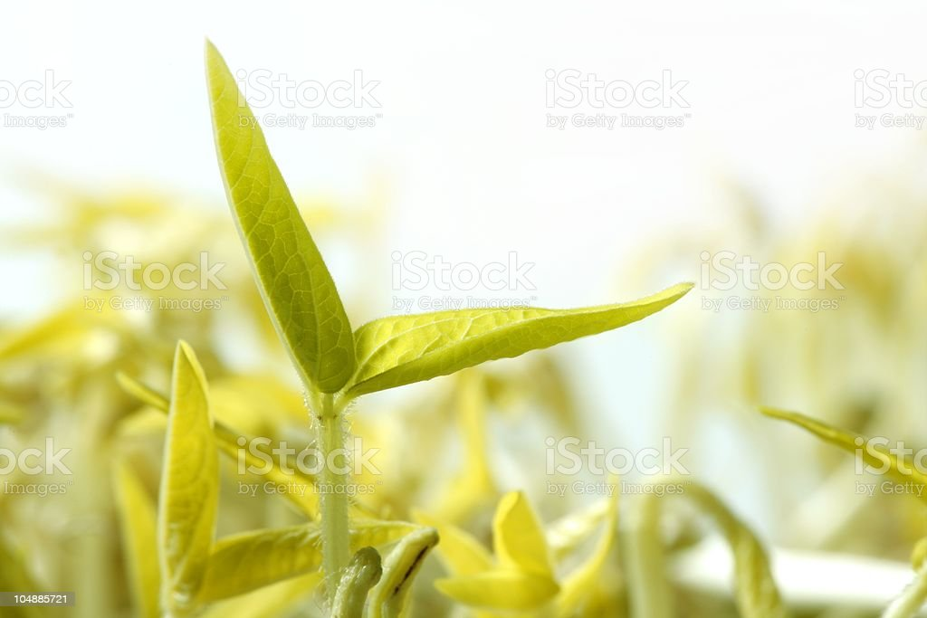 Soy bean outbreak. Life growing from seed stock photo