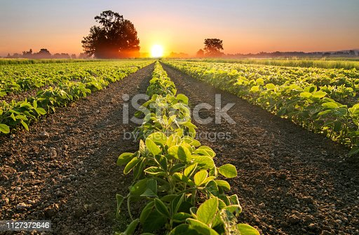 Soy field and soy plants growing in rows, at sunset, soy agriculture