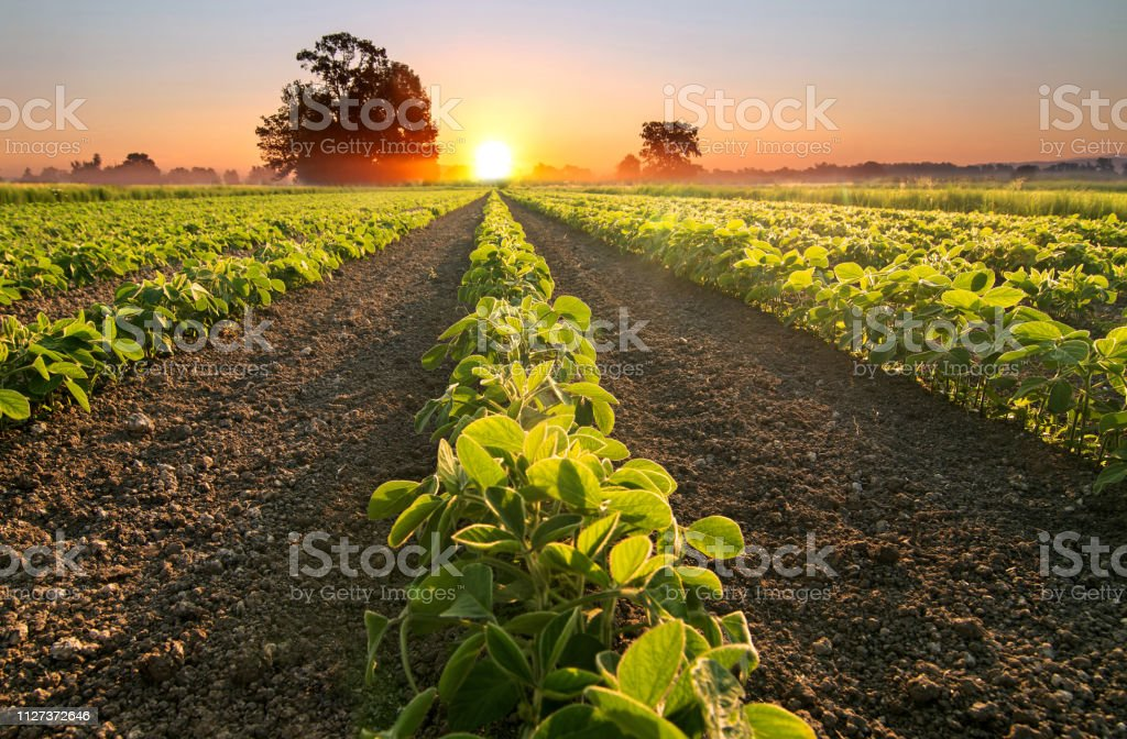 Soy field and soy plants growing in rows, at sunset stock photo