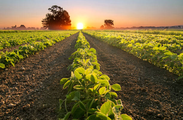 soy field and soy plants growing in rows, at sunset - farm stock pictures, royalty-free photos & images