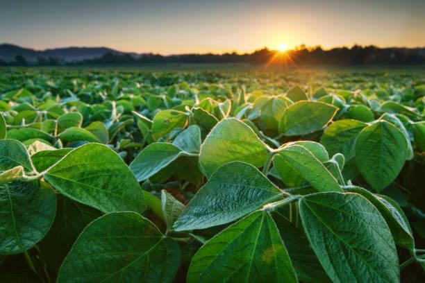soja veld aangestoken door de vroege ochtend zon - veld stockfoto's en -beelden