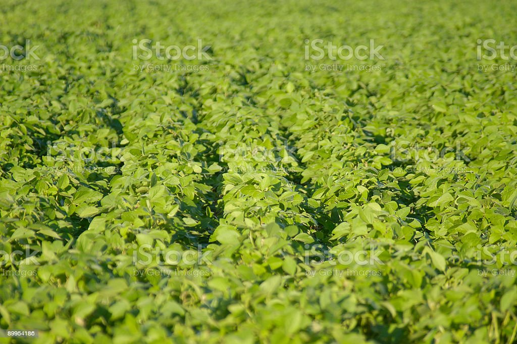 Soy field royalty-free stock photo