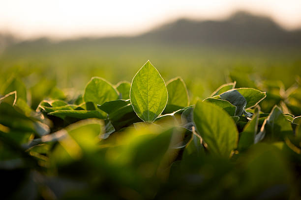 soy leaves plantation with blur background - soya fasulyesi stok fotoğraflar ve resimler