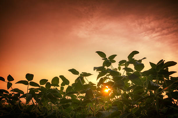 Soybean feald and the red sunset Soybean feald, close up shot from the ground level up to the red sunset sky. HDR image. crop plant stock pictures, royalty-free photos & images