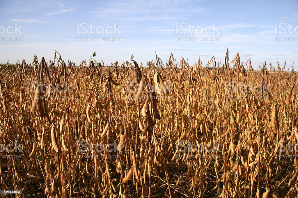 Soybean Fiedl View royalty-free stock photo