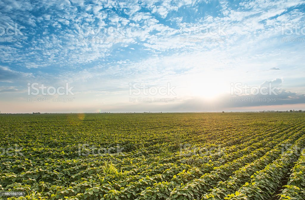 Soybean field and blue dramatic sky summer landscape stock photo