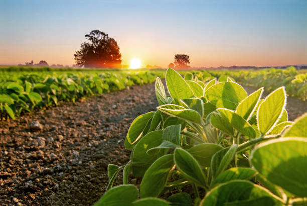 Soybean field and soy plants in early morning Soybean field and soy plants in early morning. Soy agriculture crop plant stock pictures, royalty-free photos & images