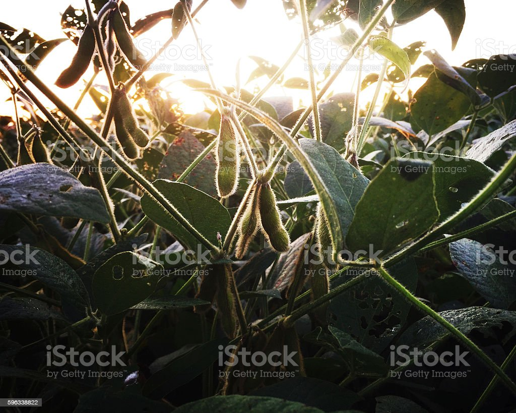 Soybean Field at Dawn in Late Summer royalty-free stock photo