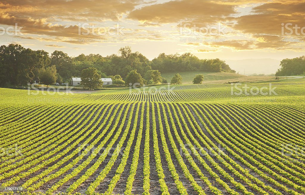 Soybean field at sundown stock photo