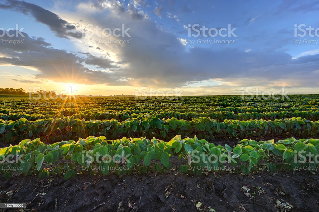 Soybean field at sunrise. stock photo