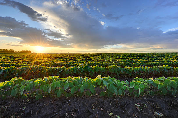 soybean field at sunrise. - field stock photos and pictures