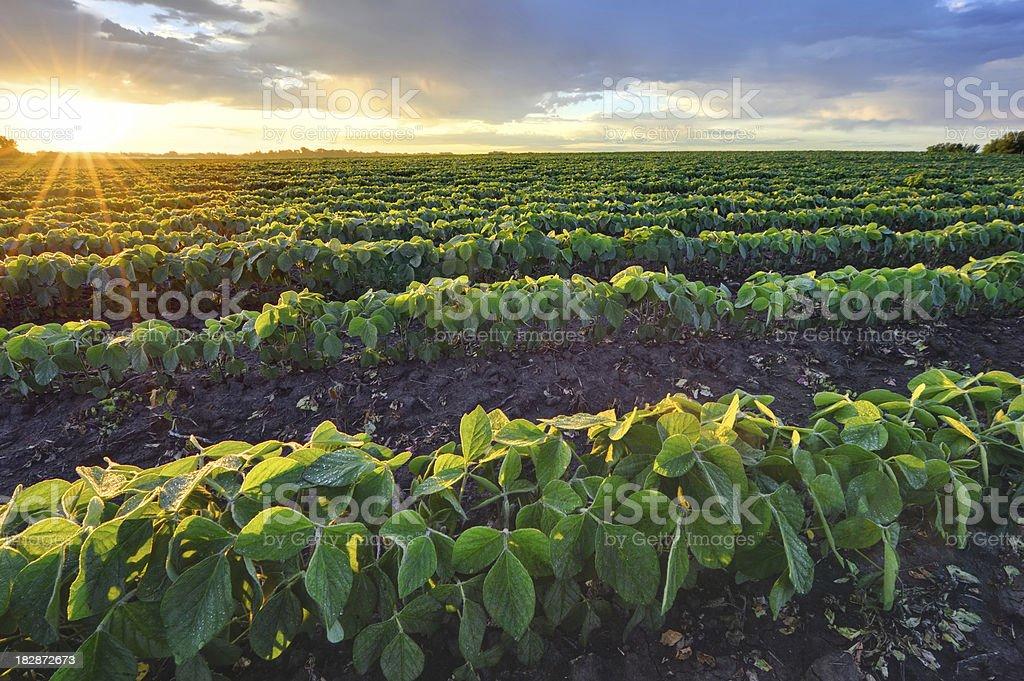 Soybean field at sunrise stock photo