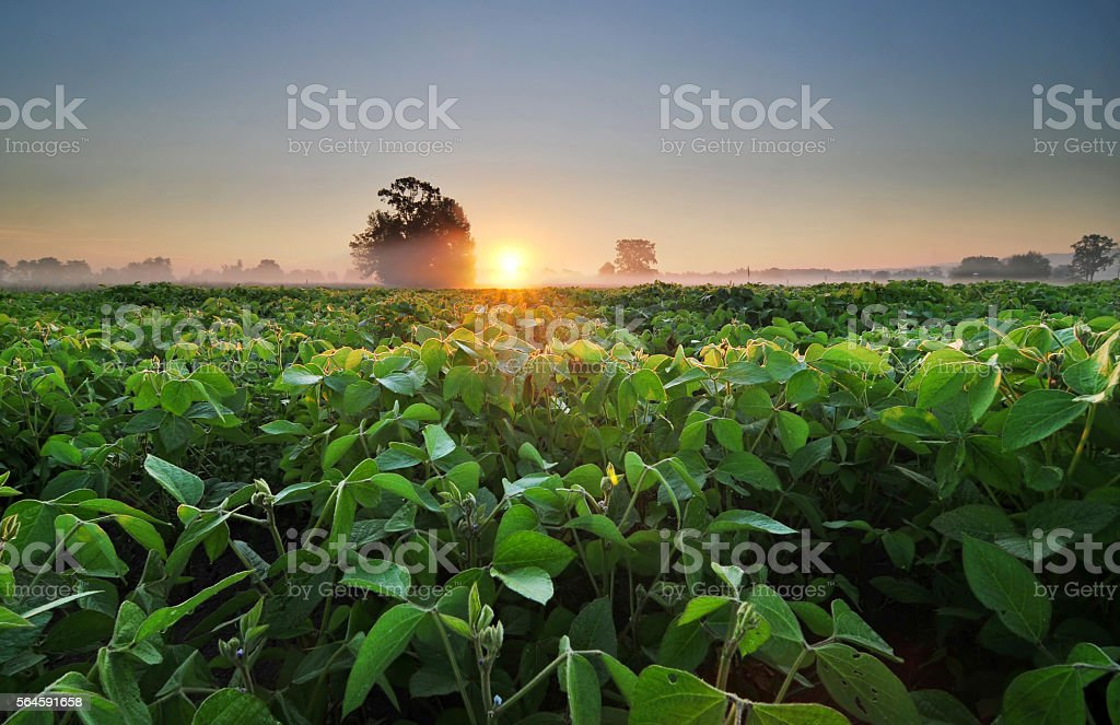 Soybean field at sunrise stock photo