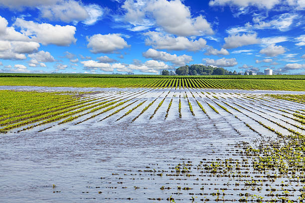 Soybean field flooded by water stock photo