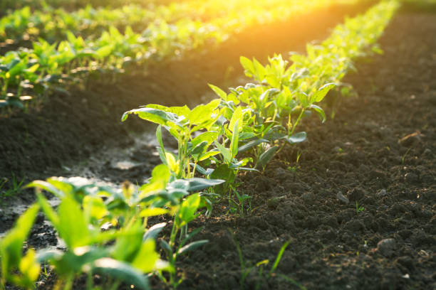 soybean field grow in the morning under sunshine stock photo