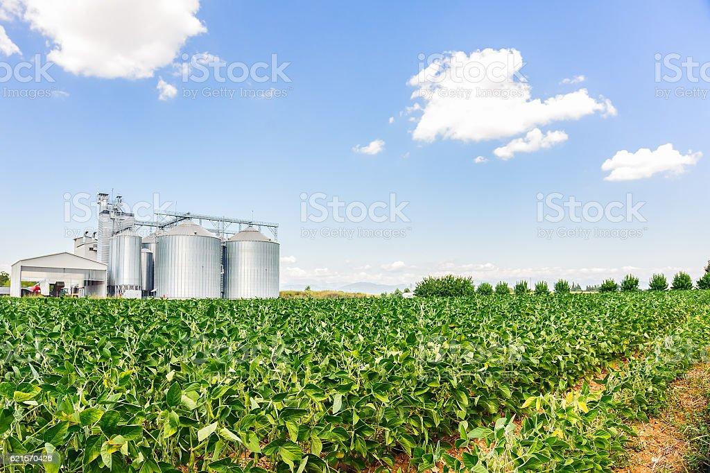Soybean field in a sunny day photo libre de droits