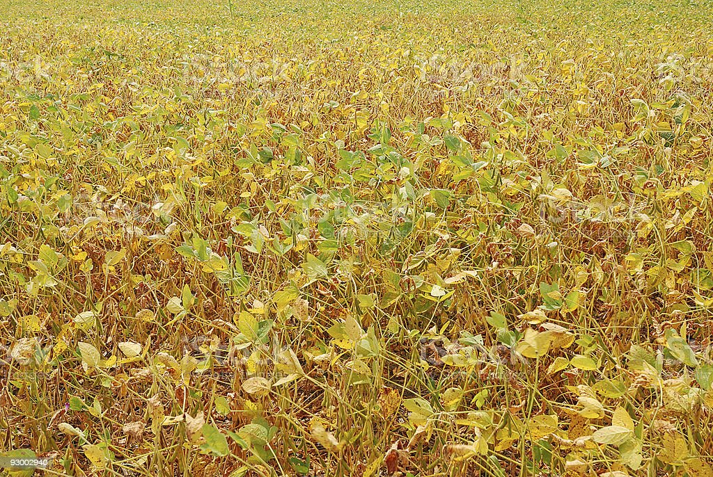 soybean field in autumn royalty-free stock photo