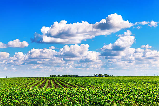Soybean Field in Central Illinois stock photo