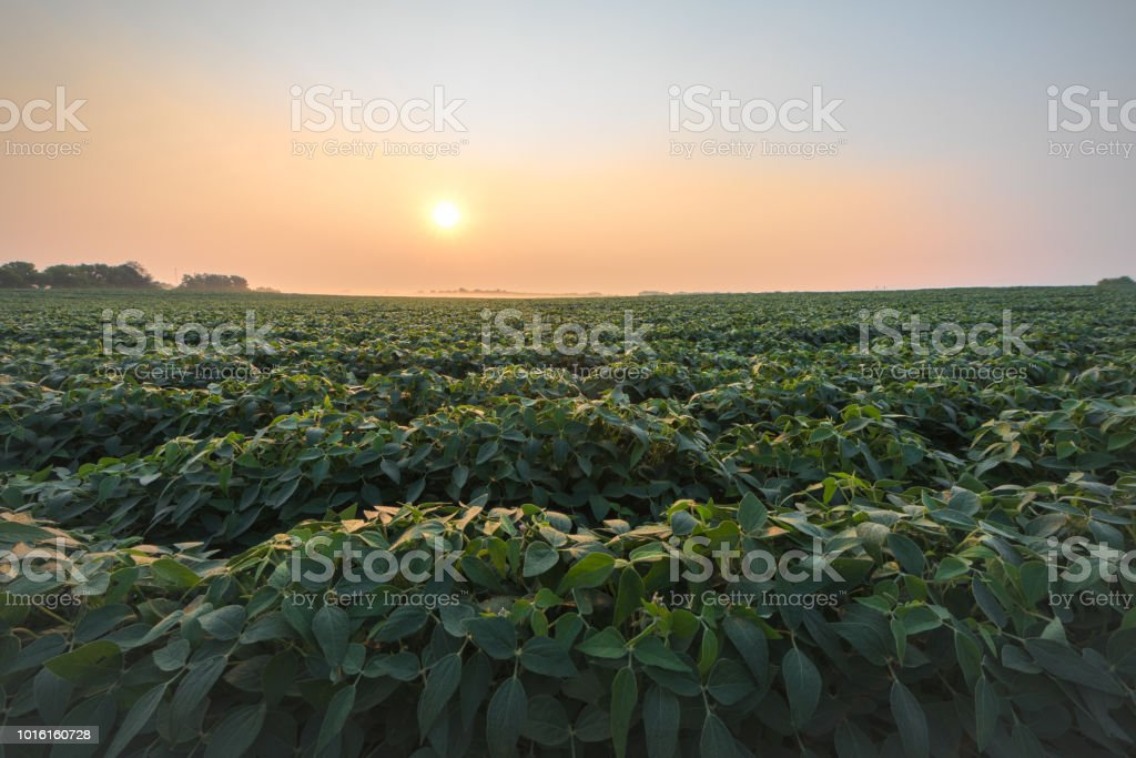 Soybean field in early morning stock photo