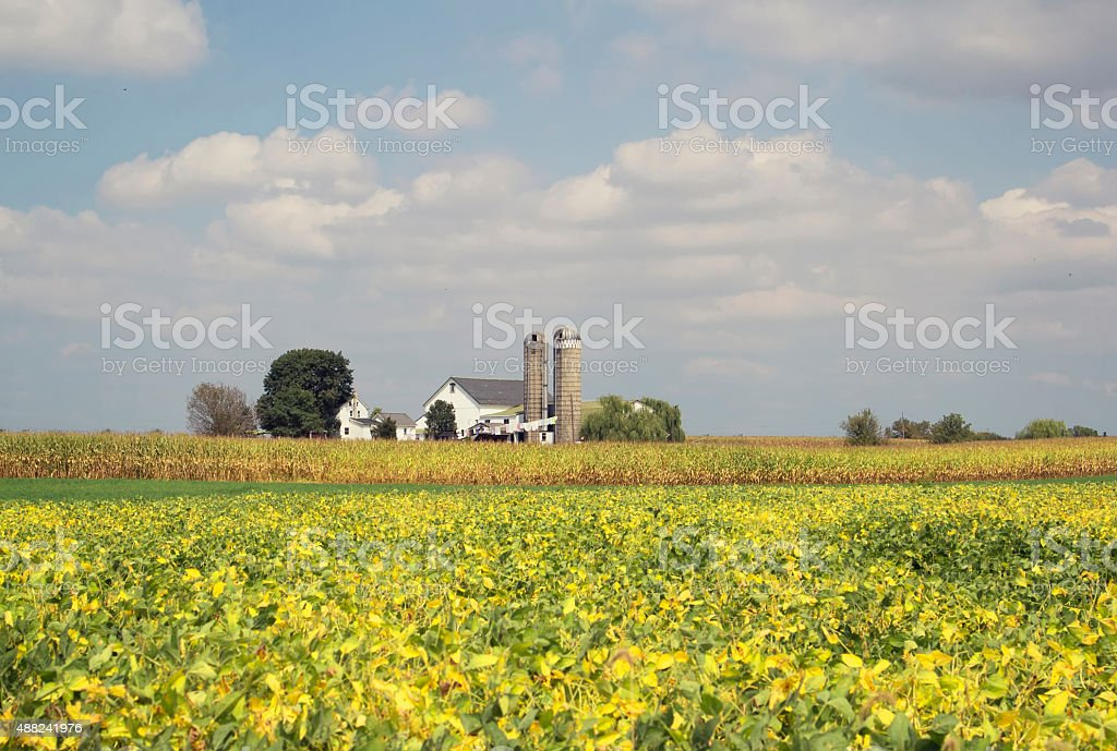 Soybean Field in Late Summer stock photo