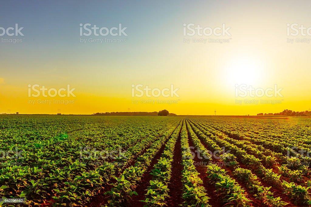 Sojabohne Feld im Sonnenuntergang auf der bauernhof – Foto