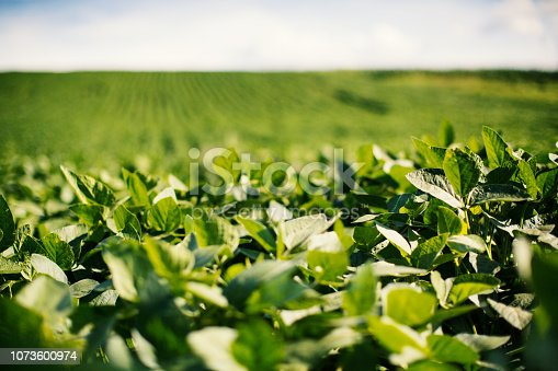 Soybean field in a late afternoon.