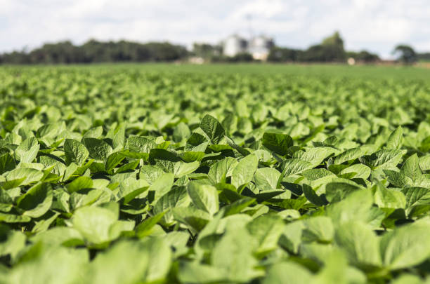 soja-feld - plantage stock-fotos und bilder