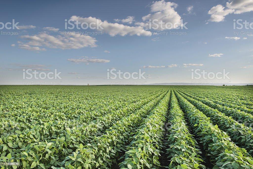 Sojabohne Field – Foto