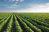 istock Soybean Field 454184549