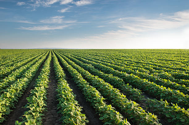 soybean field - gewas stockfoto's en -beelden