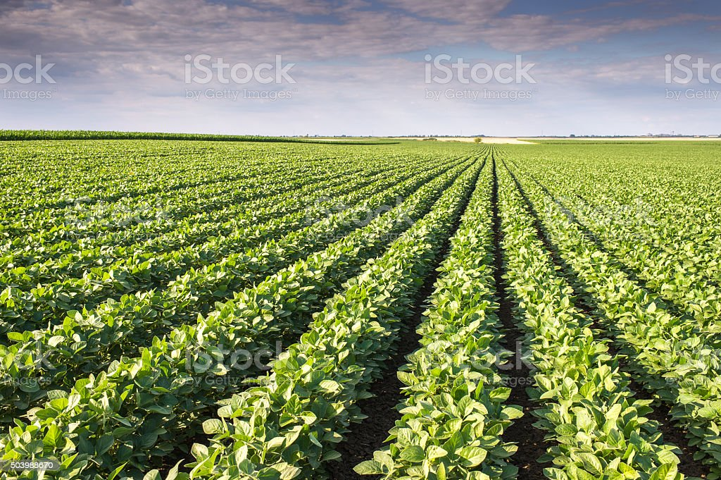 Soybean Field stock photo